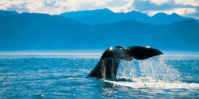 Baleine Kaikoura Nouvelle Zélande
