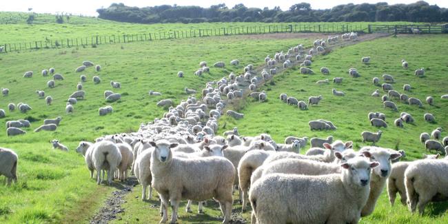 Mouton Nouvelle Zélande